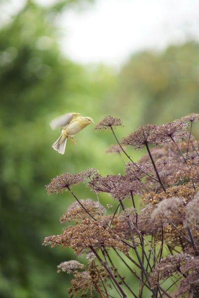 Fluiter? op bosengelwortel (Angelica sylvestris 'Vicar's Mead')