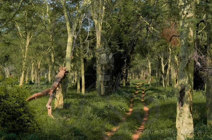 Fever Tree Forest, Pafuri, South Africa