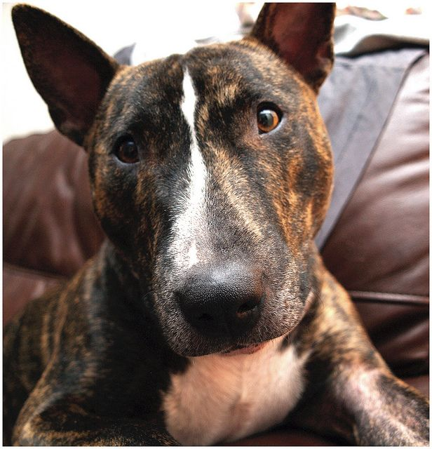 Brindle Bullie | Flickr - Photo Sharing!
