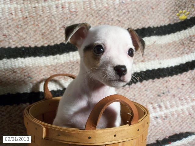 Josie - Jack Russell Terrier Puppy for Sale in McClure, PA - Jack Russell Terrier - Puppy for Sale