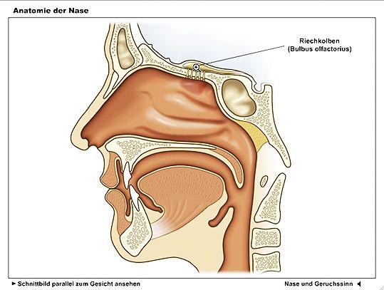 Anatomie der Nase - Animation