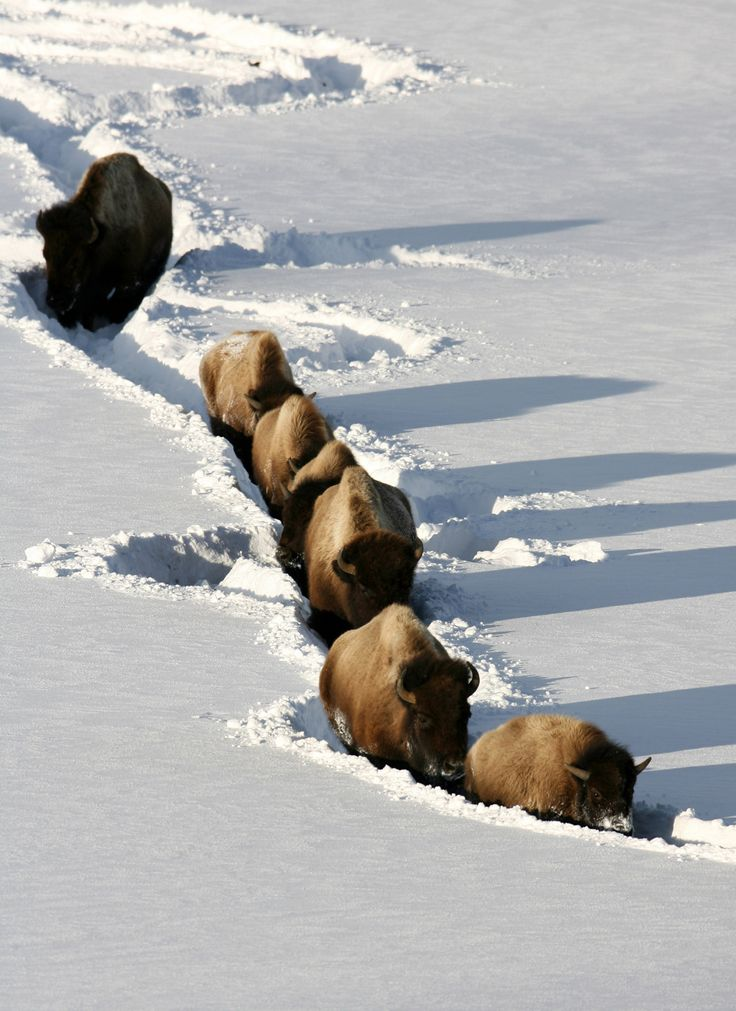 Walking in the deep snow can be difficult. Bison use their strong necks to push forward and make a path, their shaggy faces keep them from getting too cold and they take turns leading the way. These adaptations allow them to thrive in the harsh winter conditions of Yellowstone National Park in Wyoming.