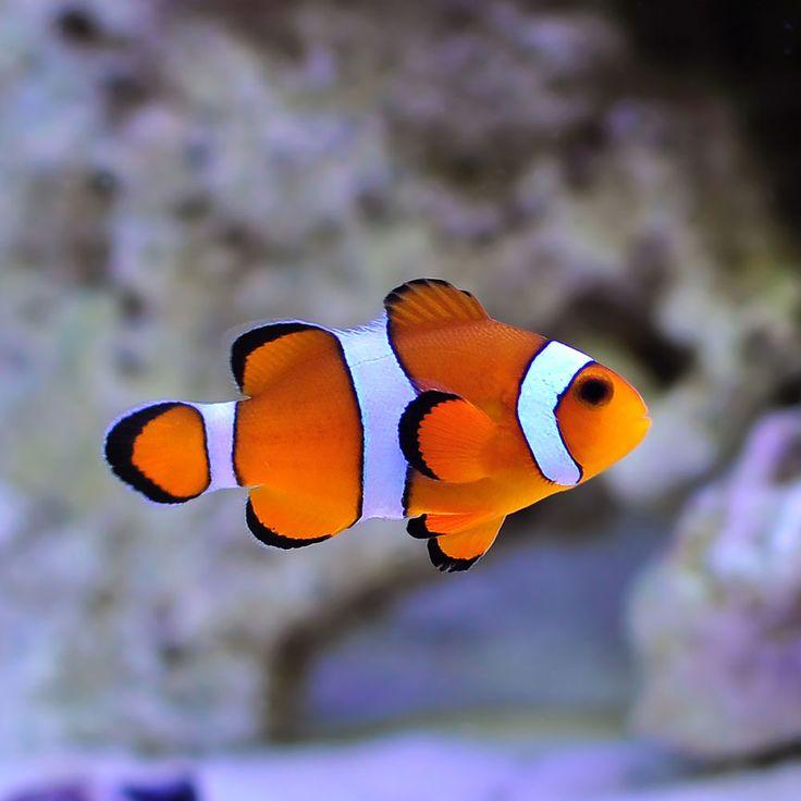 T.R. Ocellaris Clownfish. Great color