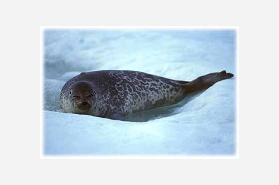 Saimaannorppa. The Saimaa ringed seal.
