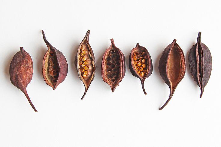 bottletree seed pods  (mary jo hoffman)