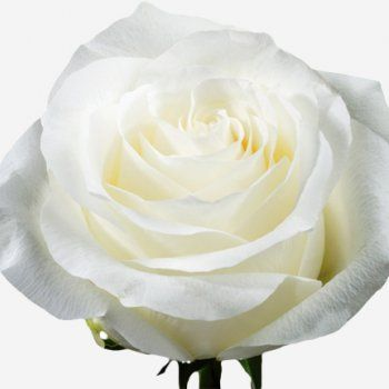 Now this is purity ! a variety named ''Proud''