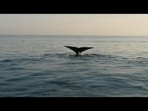 Humpback & Southern Right #Whales swim with bottlenose Dolphins