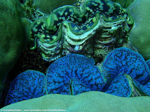 Two Giant Clams embedded in a Porite Colony on the Great Barrier Reef near Port Douglas.  Always wonderful to find them and see what unique markings their symbiotic Zooxanthellae / Symbiodinium confer to their mantel.