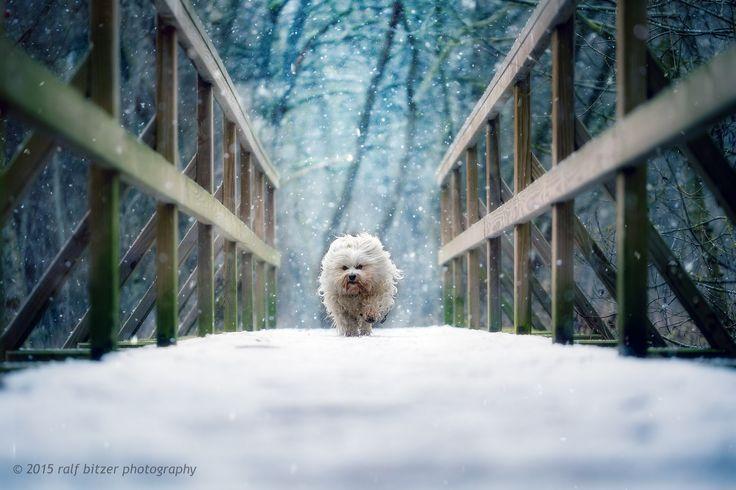 https://flic.kr/p/B4rX62 | Light trail | Mika rennt bei Schneefall über eine Brücke, Schnee und Kälte bringen meinen Hund so richtig auf Touren.  Natürlich wird auch dieser Winter viele nasse und schmutzige Hosen bringen, wenn ich mich wieder vor fast jedem Hund auf den Boden lege um zu Fotografieren.