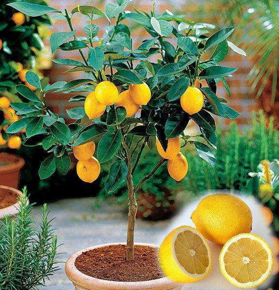 15 Edible Fruit Meyer Lemon Seeds, Exotic Citrus Bonsai Lemon Tree Fresh Seeds  INCREDIBLY EASY TO GERMINATE - ALONG WITH Meyer Lemon Bonsai THESE