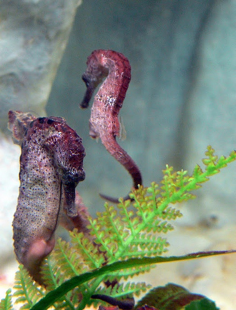 A herd of seahorses in Tasmania. Photo courtesy of Dr. Kathryn Starkey and Molly Evans.