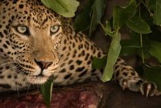 Okavango Delta - Passage to Africa - Leopard