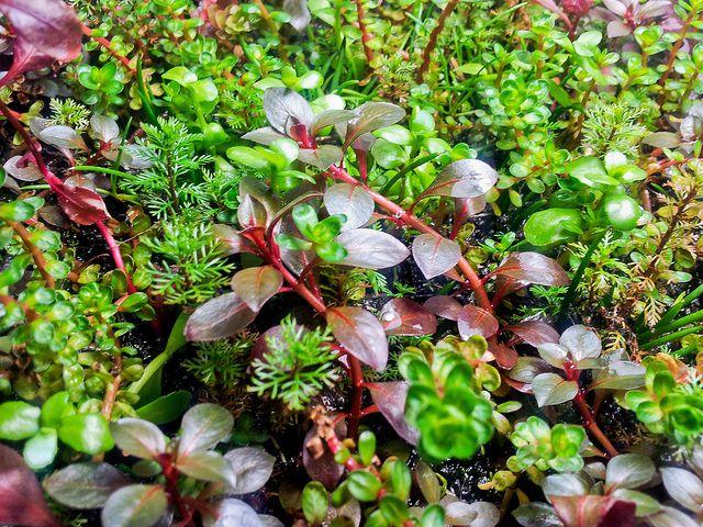 34 best images about aquatic plants on pinterest carpets for Best aquatic plants