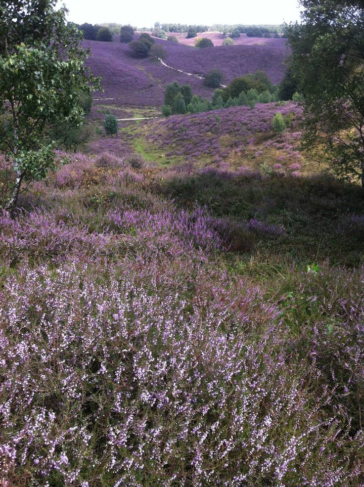 Heather in bloom at Postbank, Veluwe, The Netherlands