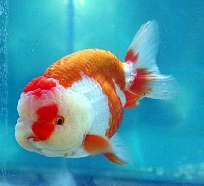 Beautiful Ranchu Goldfish