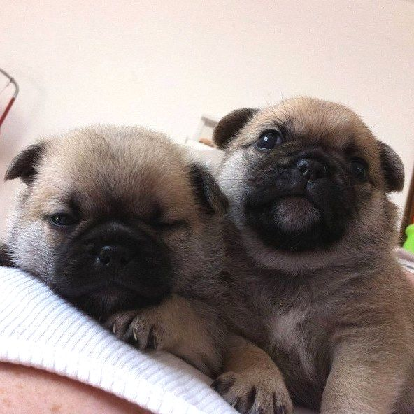 Pin By Stephanie M Clevenger On Pug Pug Mixed Breeds Baby Dogs