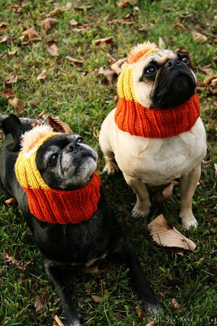 A canine candy corn pair.