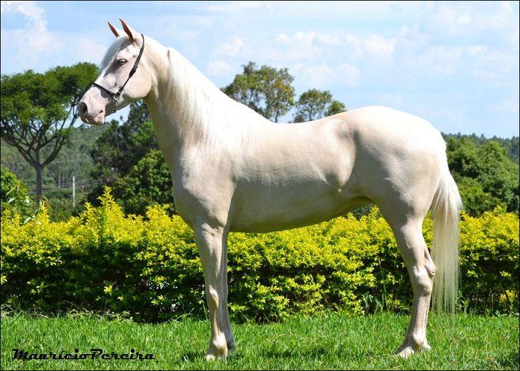Mangalarga Neve do Fuad  a venda no N1cavalos, o maior portal de cavalos