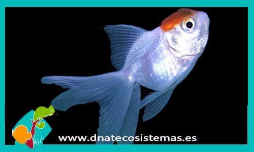 boina-roja-5-6cm-venta-de-peces-online-tienda-de-peces-online