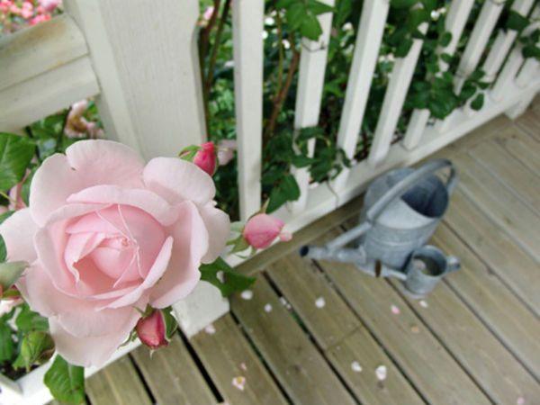 25 best ideas about rosier en pot sur pinterest arbuste for Comment arroser un rosier en pot