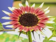 The 'Ms. Mars' sunflower Helianthus annuus has a dwarf, bushy habit that makes it ideal for pots and containers.