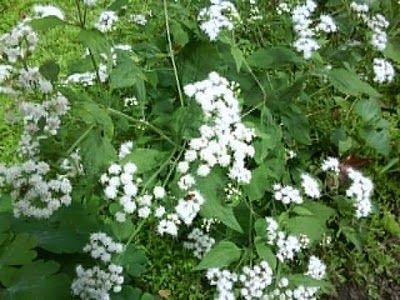 3# Poisonous Plants,White Snakeroot
