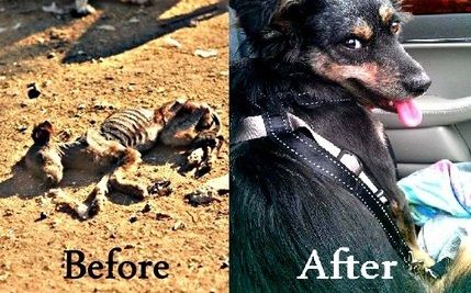 This Dog was Snatched Out of the Hands of the Grim Reaper---read more!  Take a good look at this brittle body, stretched out on the dirt here in Romania. What would you say if we told you that this dog still has a heartbeat and that her story could just be the flash point that brings food to hundreds of others?
