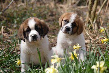 Criaderos de Cachorros de la Raza San Bernardo http://www.mascotadomestica.com/criaderos-de-perros-en-el-mundo/criaderos-de-cachorros-de-la-raza-san-bernardo.html