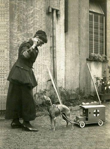 Italian Greyhound Red Cross Collecting Dog