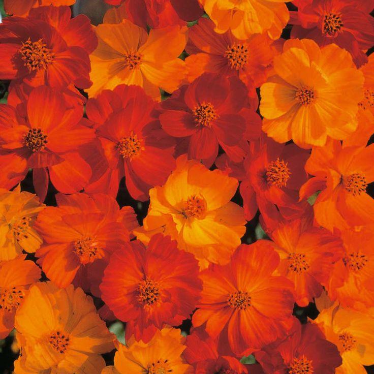 Cosmos sulphureus 'Polidor' - Half-hardy Annual Seeds - Thompson & Morgan
