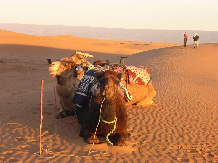 Serene camel waiting for action