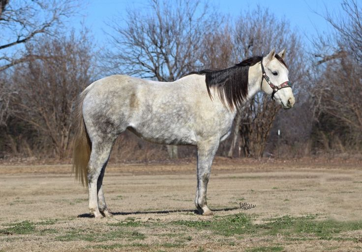Southern Cash First AQHA Mare - FALLON TAYLOR