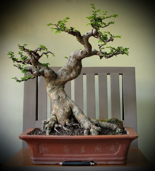 Thanks nature's Hobby : Bonsai บอนไซ shohin mame miniature