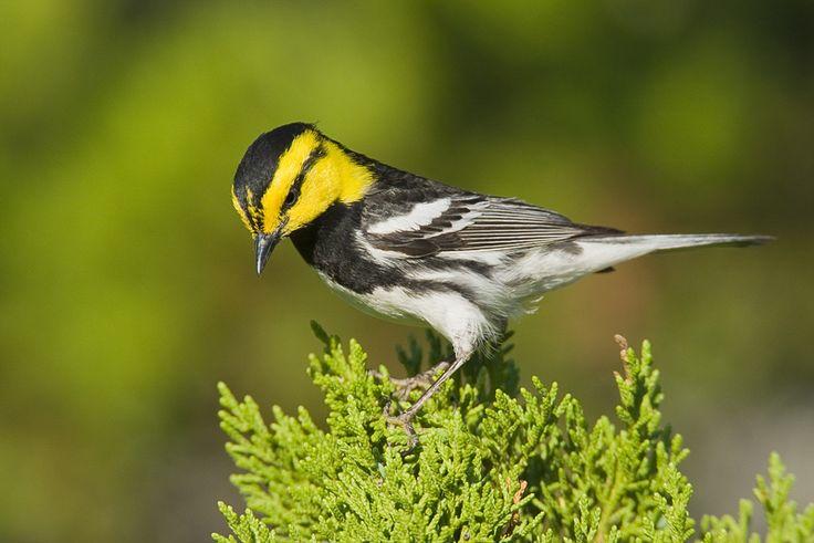 Golden-cheeked Warbler - Google Search