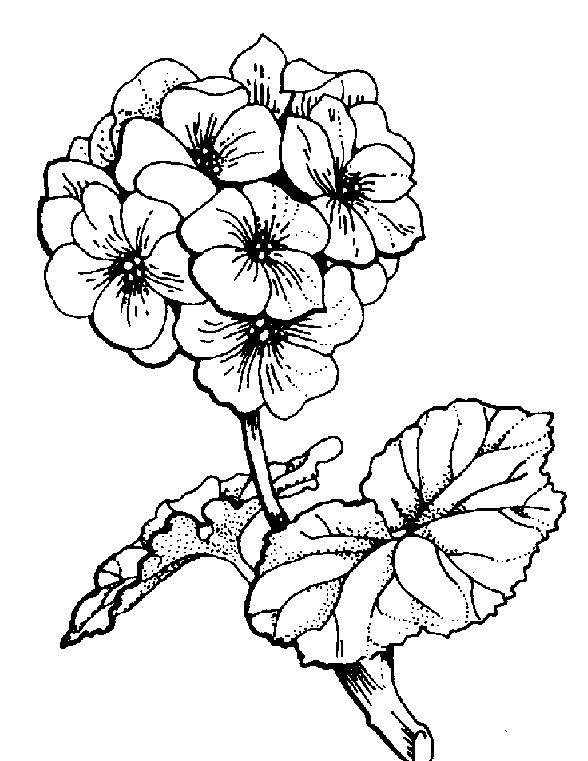 geranium flower drawing - photo #23