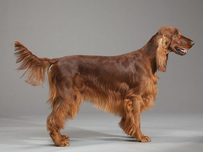 Worksheet. 289 best Irish setter images on Pinterest  Animals Irish setter