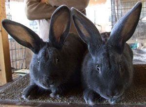 """The American has since become the most rare of rabbit breeds in America."" -The Livestock Conservancy"