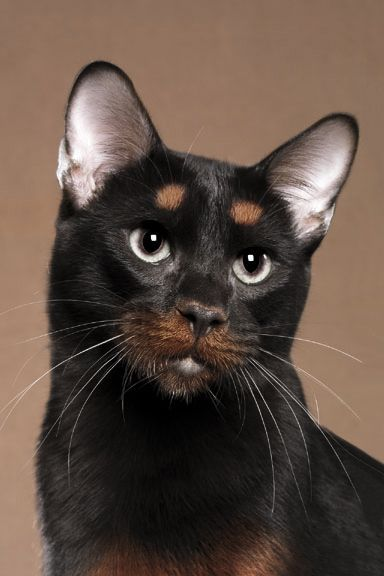 Rottweiler coloured cat. We've stumbled upon a breed of cat which reminds us of our dog Udie! Anybody have any idea what this breed is called?