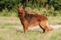 harzer fuchs - my next dog