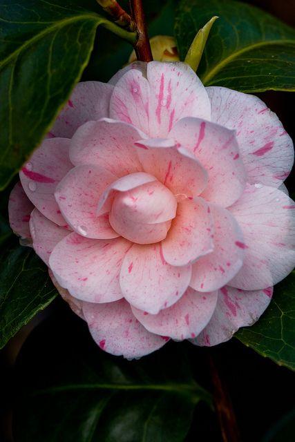 CAMELIA - one of my very favorite flowers!