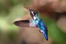 Bee hummingbird - Wikipedia, the free encyclopedia