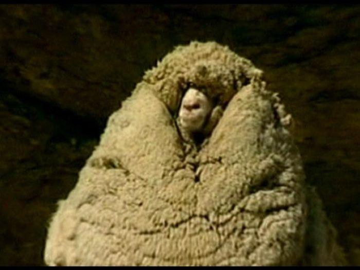 shrek the sheep images   Shrek, o carneiro celebridade, morre na Nova Zelândia - Bichos - R7