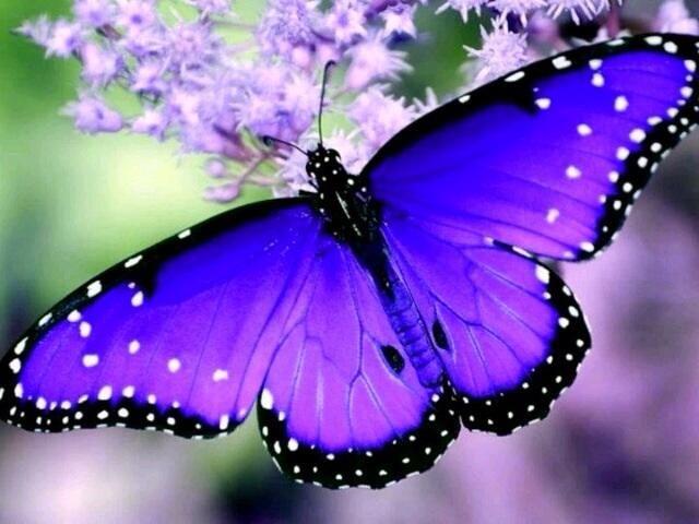 Beautiful Purple Butterfly ~ via: stargazer