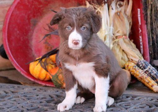 Border Collie puppy for sale in MOUNT JOY, PA. ADN-53643 on PuppyFinder.com Gender: Female. Age: 7 Weeks Old