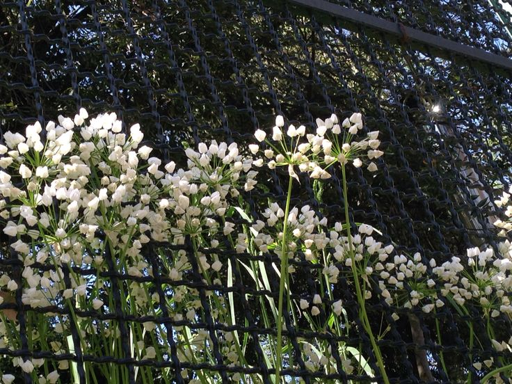 Fuori in cerca di libertà Forse Ombrellini pugliesi, nome botanico tordylium apulum