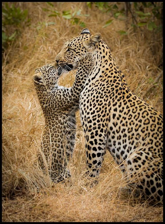 Tlangisa and her cub from Savanna Private Game Reserve, South Africa - Animals to Behold!