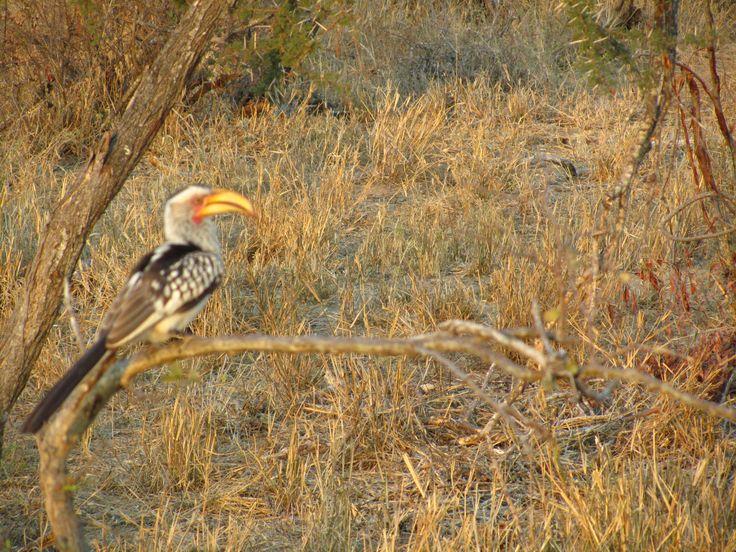 #GroundHornbill #Birdlife #Klaserie #Wildlife #Safari