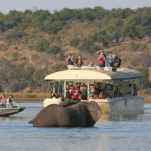 Chobe is where you will see elephant concentration