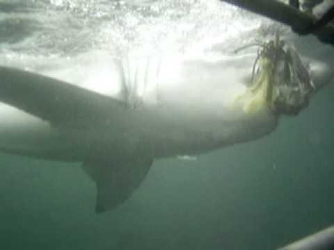 "South Africa White Shark Video - ""Lui's Shark"""