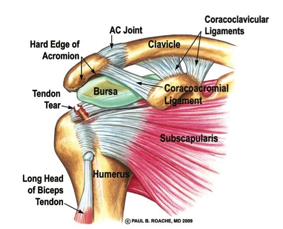 ac joint in shoulder - google search | medical | pinterest | search, Human Body